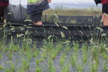 restoration of grassy groundcovers-16web