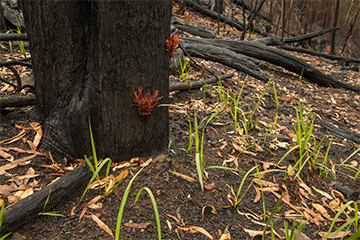 post fire plant growth