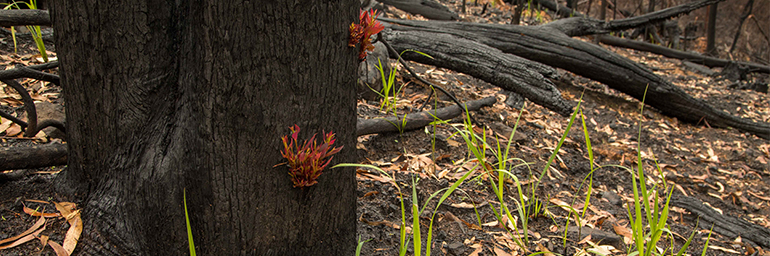 Bushfire response of plants